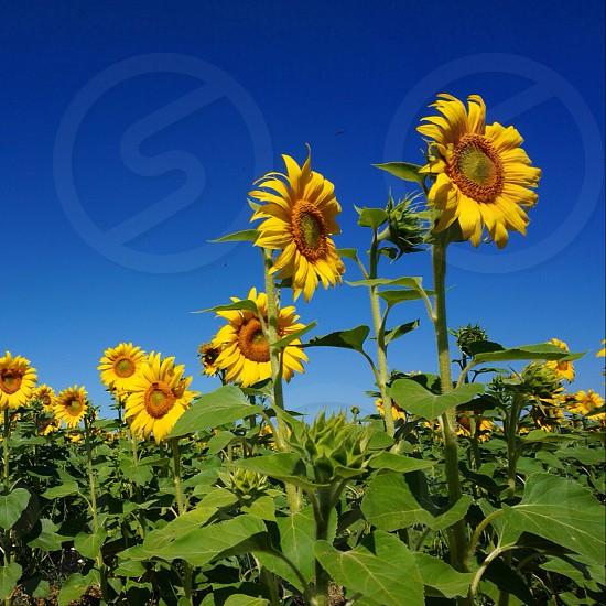 Sunflowers; sky; photo