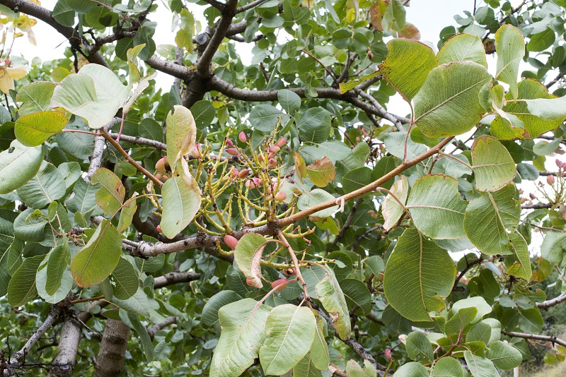 Pistachio tree. Close up branch with fruits. Greece photo