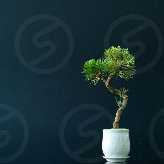 bonsai plant in white ceramic vase photo