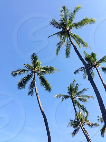 green coconut trees in fair day photo