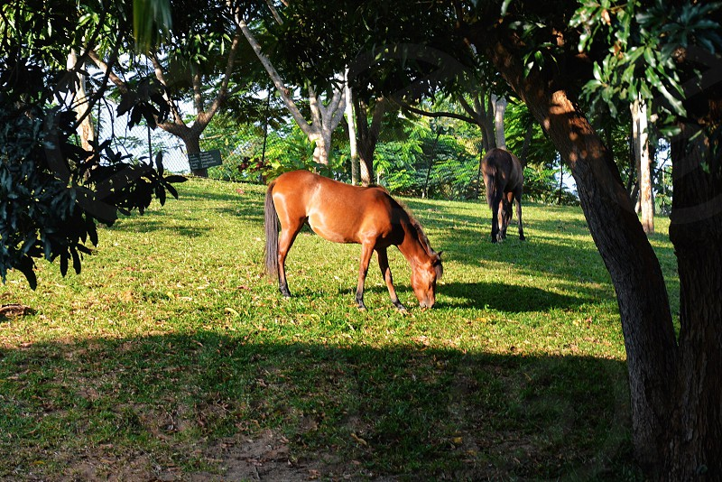 brown horse eating grass photo