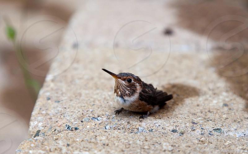 little brown newborn bird on the stone photo