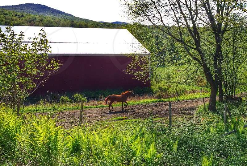 brown horse on pathway near red barn house on green grass beside green tall trees photo