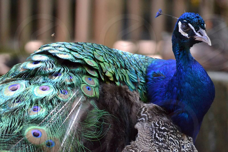 peacock animal photo
