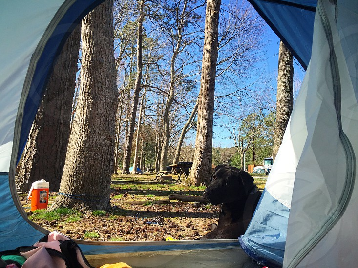 Dog black lab camping outdoors woods hiking relaxing  photo