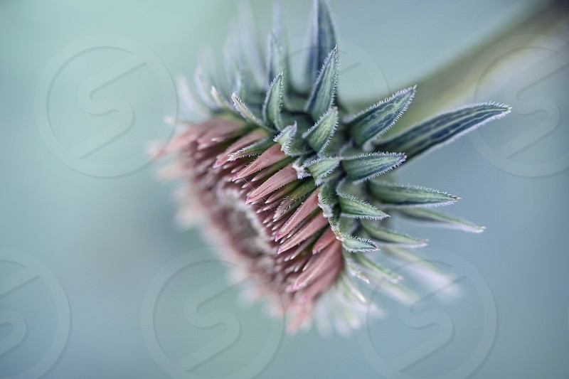 Close up of a purple coneflower in bloom. photo