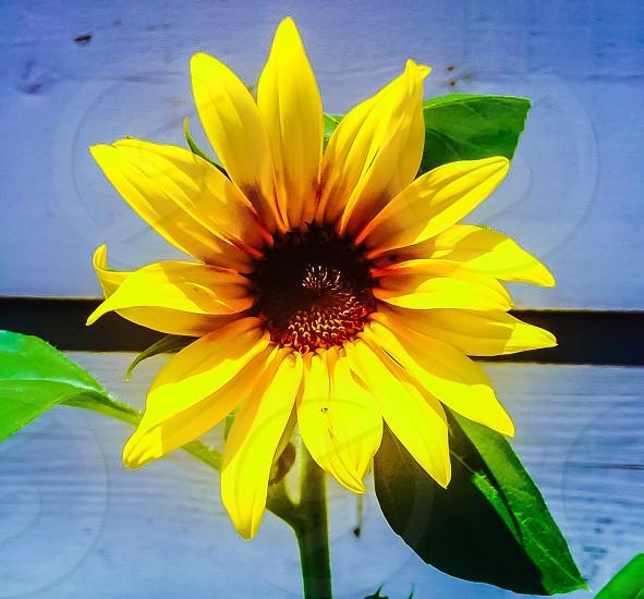 Summertime Sunflower  photo