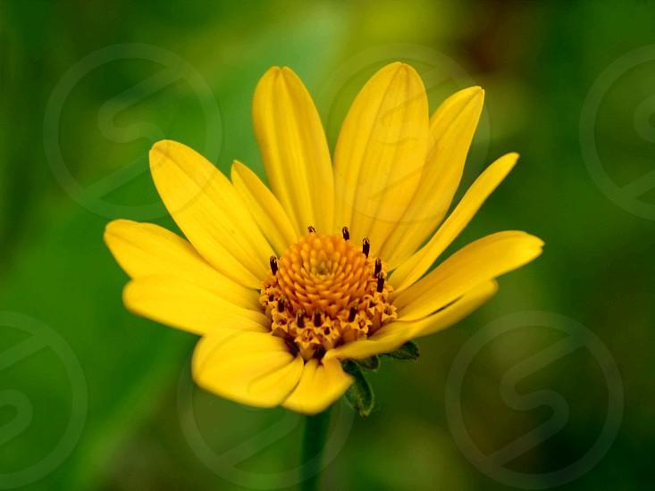Macro shot yellow flower with green background #flower #yellow #macro #green #background photo