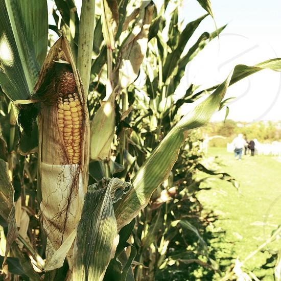 green corn plant photo