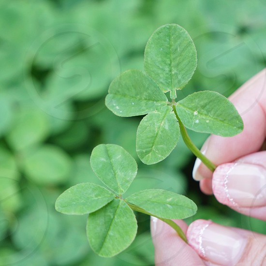 4 leaf clover photo