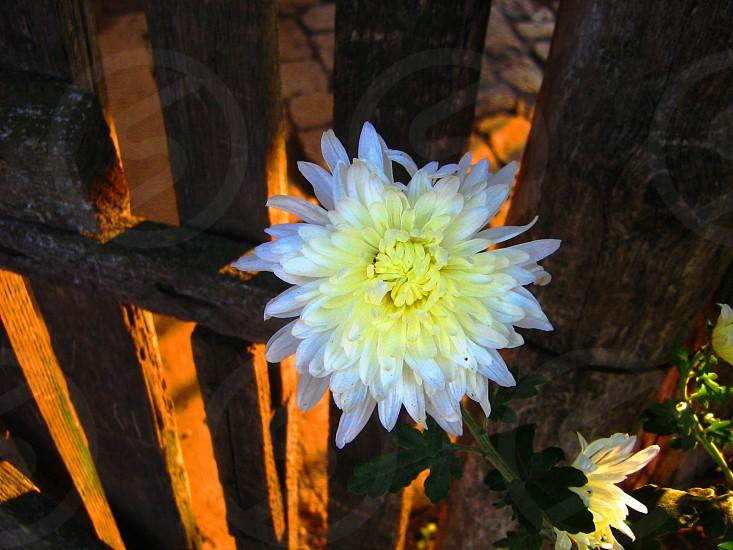 White Chrysanthemum in the Twilight photo