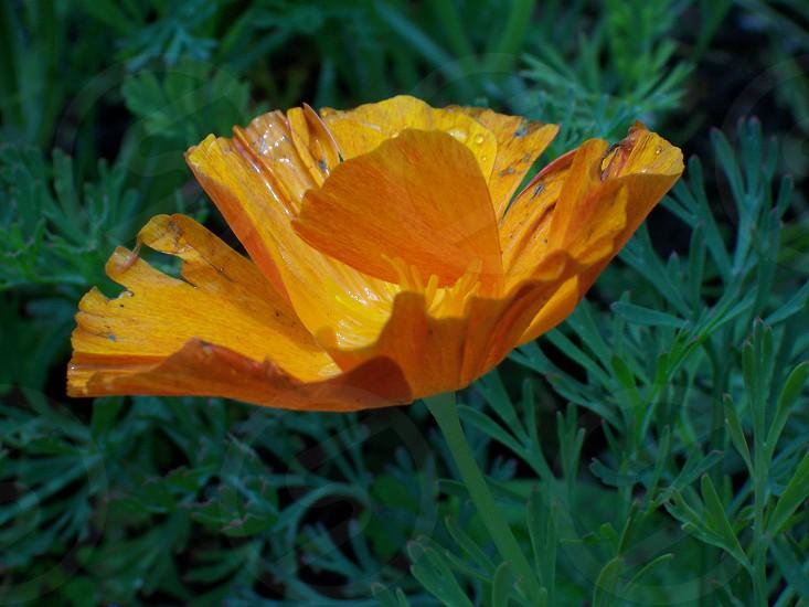 Yellow Poppy photo