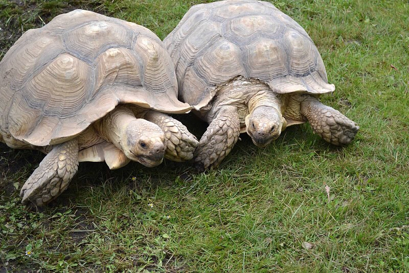two brown turtles photo
