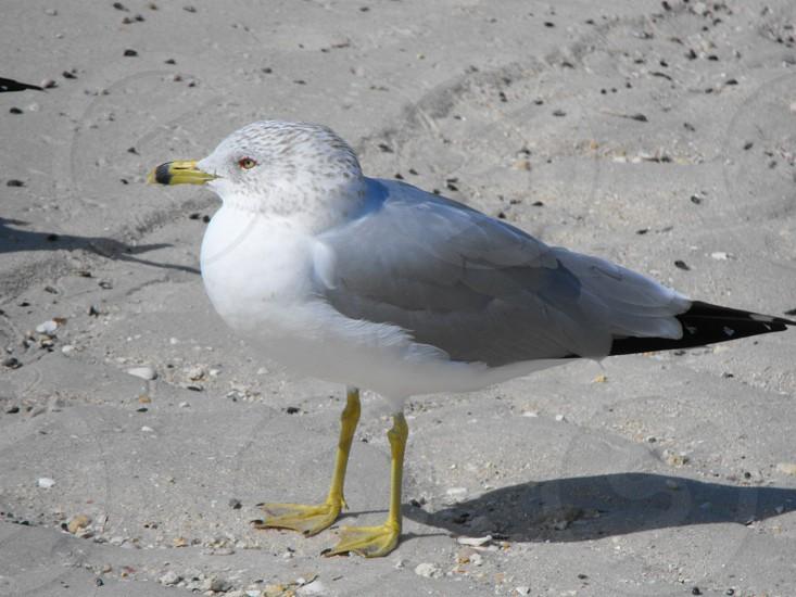 Ring Billed Gull photo