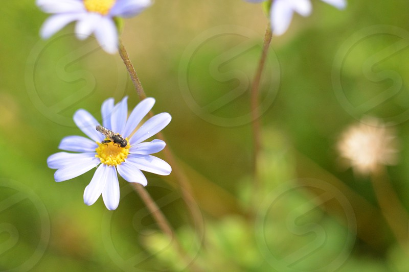 bee pollinating on white flower with a green background photo