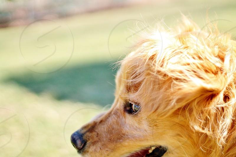 brown golden retriever close up photo photo