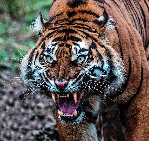 Sumatran Tigress. Sumatra. photo