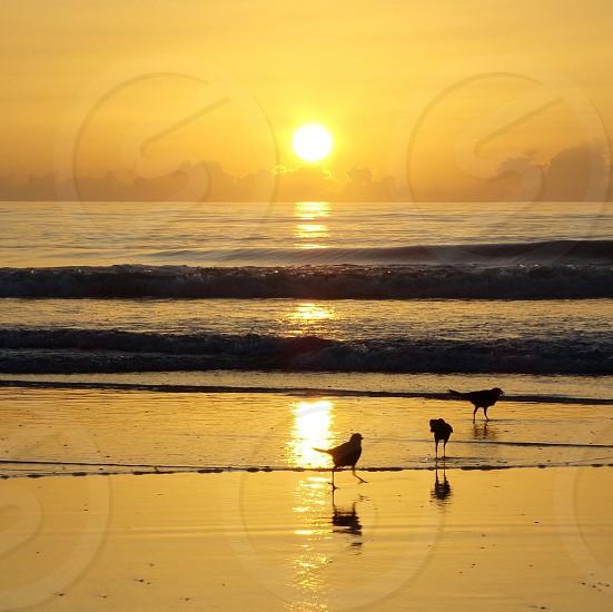 Grackles on the beach at sunrise. Sunrise birds beach grackle Florida glare  photo