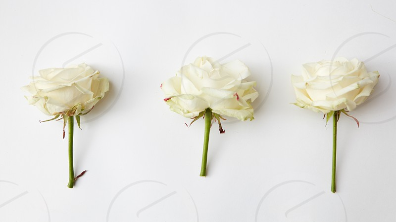three roses on a white background flat lay photo