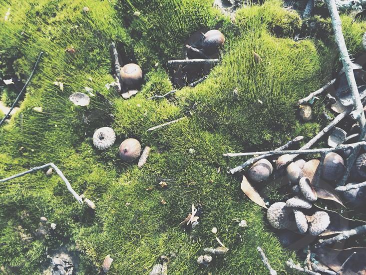 moss and acorns  photo