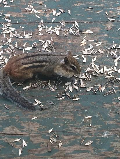 Chipmunk seeds photo