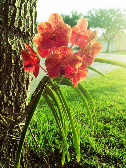 Orchid on Oak tree photo