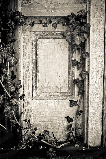 Even the ivy here is a little spooky; Salem Massachusetts photo