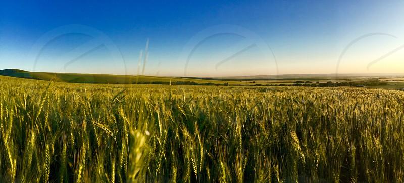 Walla Walla wheat field summer green photo