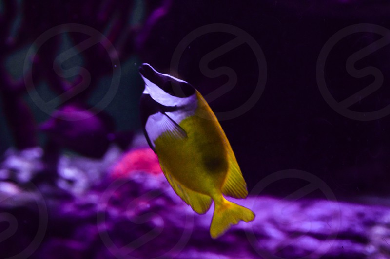 Vibrant yellow fish exotic underwater sea creatures ocean creatures sea life coral reefs marina aquarium photo