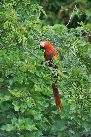 Macaw rainforest rain jungle green trees red parrot bird photo