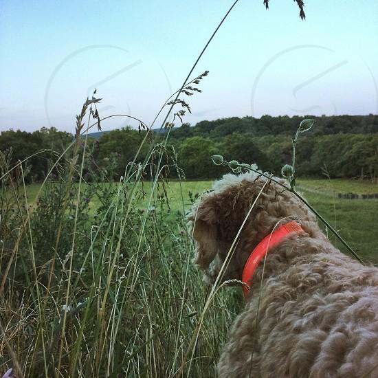 apricot medium sized dog photo