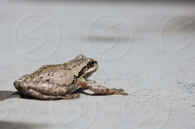 Side view of a small frog sitting on concrete drying off in the sun after a swim. photo