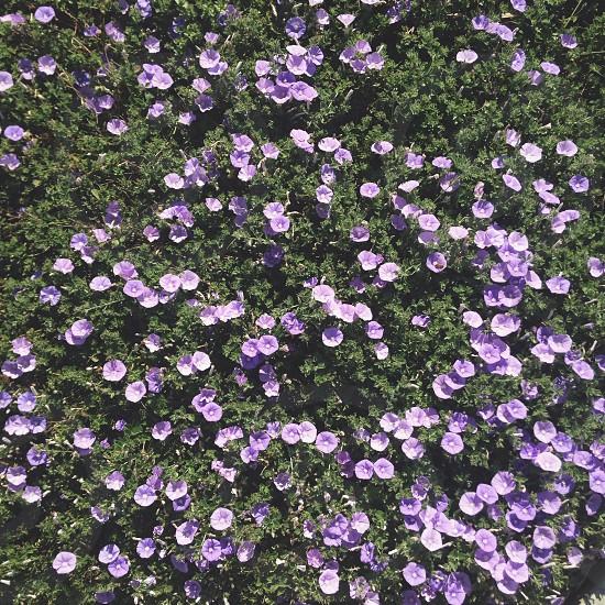purple flower fields view  photo