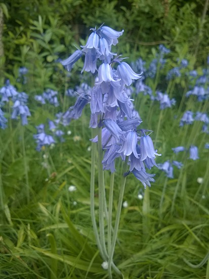 Bluebells Spring  photo