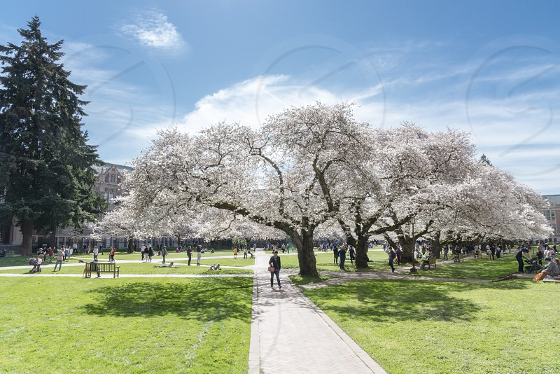 Cherry blossoms on the University of Washington campus. photo
