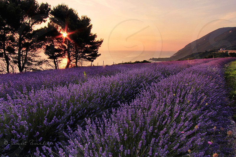 Lavender filed in Italy. #lavender #sea #sunrise #summer #Italy #Conero #Marche #Adriatic photo