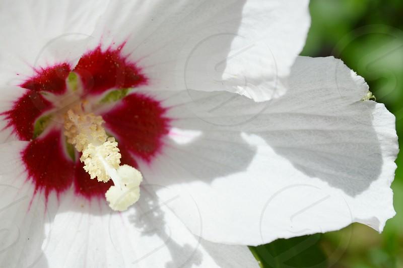 white red hibiscus in tilt shift lens photo