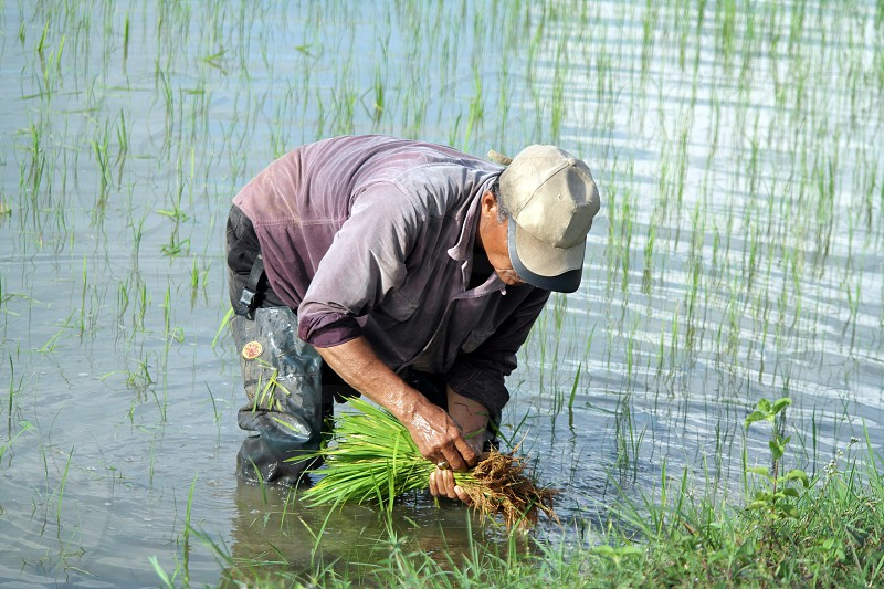 man in brown fitted cap planting rice plant on watery soil surrounded with grasses photo