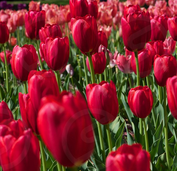 Endless red Easter and Spring Tulips blooming at Arlie Gardens in Wilmington North Carolina.  photo