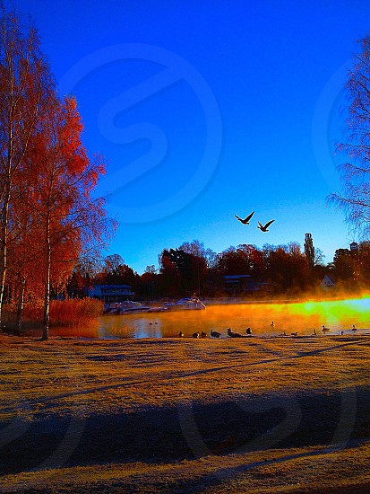 Sweden autumn Canada Goose bird flying water trees nature outdoors blue sky photo