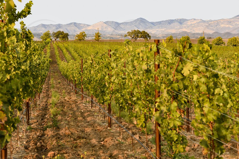 Vineyard California wine countryside harvest rural photo