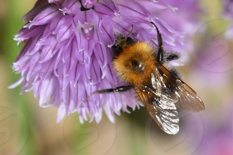 Macro Images Bee on purple flower photo