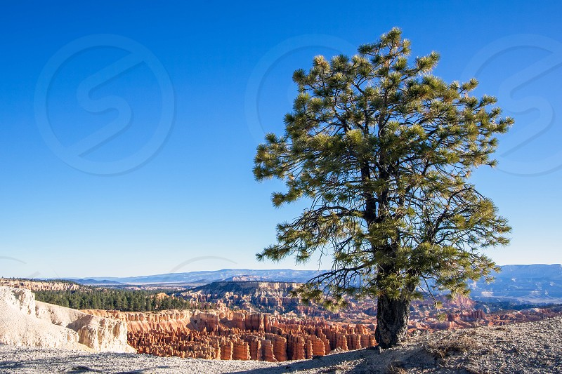Pine Tree on the Rim of Bryce Canyon photo