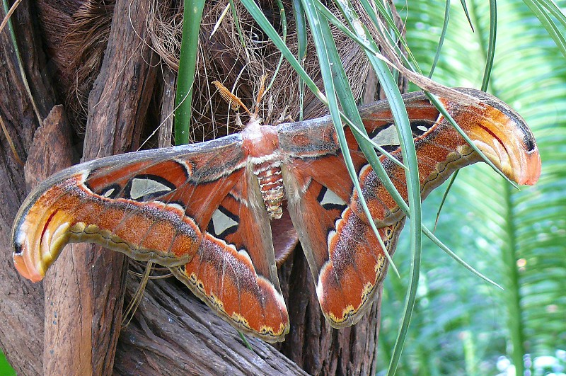 insects butterfly Lepidoptera Attacus atlas photo