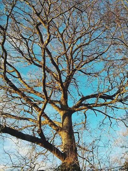 A beautiful tree in the winter sunlight. Taken in Sowden nr. Lympstone Devon UK. photo