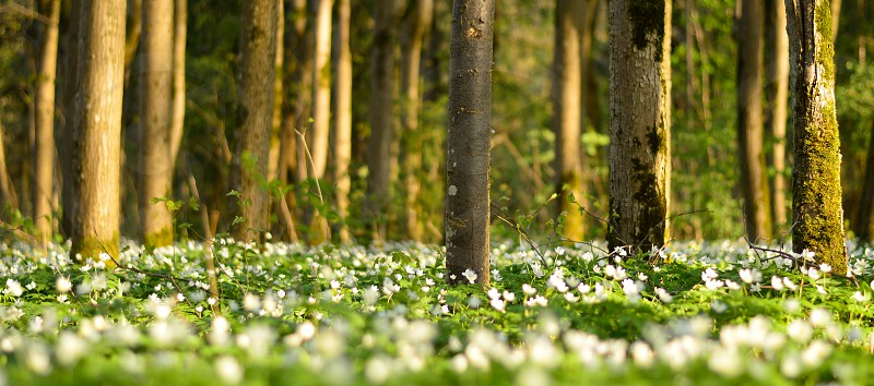 Blossoming white flowers in the forest photo