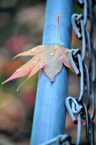 maple leaf with water dews landed on black metal pipe fence close up photography photo