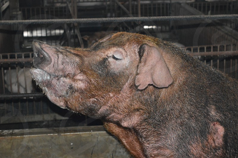 pig farm .. photo