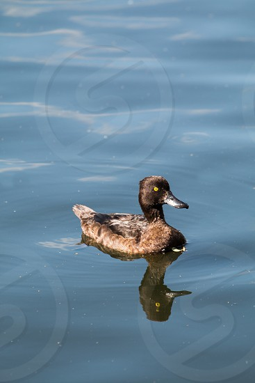 brown and black duck on water photo