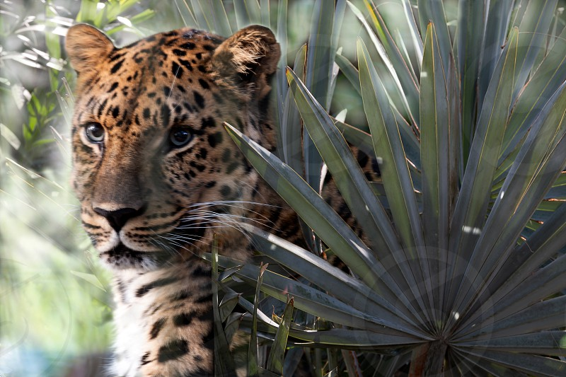 Leopard waits patiently among foliage composite photo